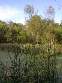 This pond sits just south along the trail from the Prairie grass lands. There is a lot of wild life living around this pond. We often see Deer here as we walk along the trail.